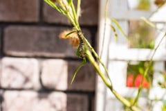 Monarca Caterpillar en una rama en el jardín fotos de archivo libres de regalías