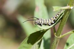 Monarca caterpillar5 Fotografia Stock Libera da Diritti