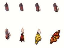 Monarca che emerge fotografia stock libera da diritti