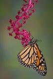Monarca che pende dal pokeweed fotografia stock