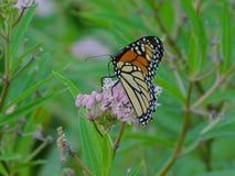 Monarca Chillin na flor imagem de stock royalty free