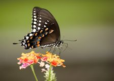 Monarca colorido Imagen de archivo libre de regalías