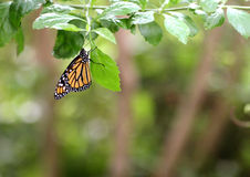 Monarca da borboleta imagens de stock