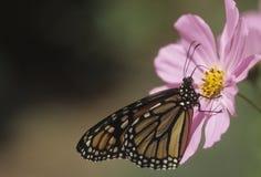 Monarca de la mariposa Foto de archivo
