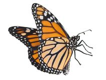 Monarca del vuelo en blanco Fotografía de archivo libre de regalías