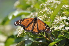 monarca della farfalla Fotografia Stock