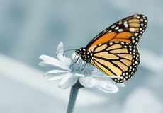 monarca della farfalla immagini stock