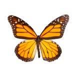 Monarca della farfalla sui precedenti bianchi Immagini Stock