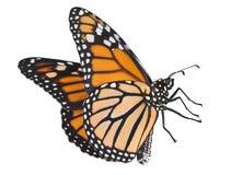 Monarca di volo su bianco Fotografia Stock Libera da Diritti