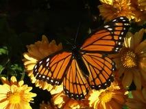 Monarca em mums Imagem de Stock Royalty Free