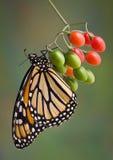 Monarca en bayas foto de archivo libre de regalías