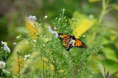 Monarca en el fleabane salvaje que busca para el néctar Fotos de archivo
