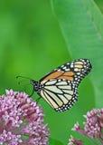 Monarca en la flor del Milkweed Fotografía de archivo