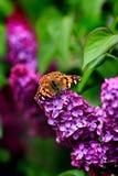 Monarca en lila Fotos de archivo