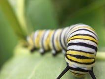 Monarca macro Caterpillar Imagen de archivo