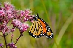 Monarca na flor 7 de Joe Pye Weed fotografia de stock