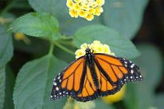 Monarca nas flores 2 do amarelo foto de stock