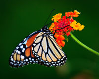 Monarca Nectaring Foto de Stock Royalty Free