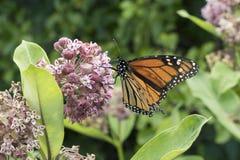 Monarca que alimenta na planta do Milkweed Fotos de Stock Royalty Free