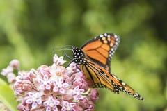 Monarca que alimenta na planta do Milkweed Imagem de Stock