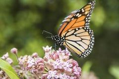 Monarca que alimenta na planta do Milkweed Fotos de Stock