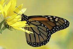 Monarca su giallo Immagini Stock