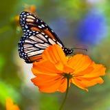 Monarca sul fiore arancione Immagine Stock