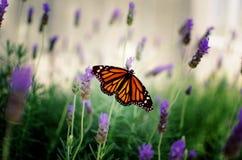 Monarca und Lavenderandies Stockbild
