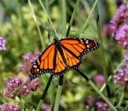 monarch imagens de stock