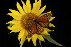 Monarch. A monarch butterfly on a bright yellow sunflower Stock Photography