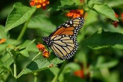 Monarch Stock Photos