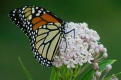 monarch foto de stock