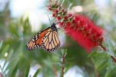 Monarch Stock Image