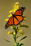 Monarch 2. A monarch butterfly resting on a yellow flower Royalty Free Stock Photos