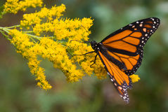Monarch. Butterfly on goldenrod flowers Royalty Free Stock Photos