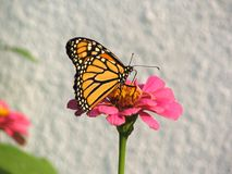 Monarch. This is a monarch butterfly on a zinna flower Royalty Free Stock Image