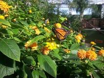 monarch Stock Foto's