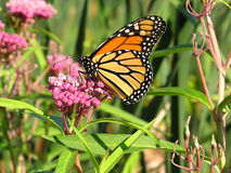Monarch --5. A monarch butterfly feeding on nectar of swamp milkweed Stock Photos