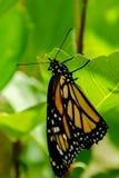 monarch Lizenzfreies Stockbild