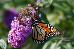 Monarch stockfotografie
