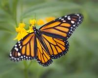 monarch royalty-vrije stock afbeeldingen