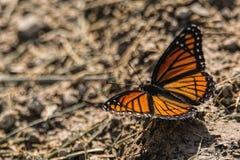 monarch Stock Fotografie