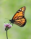monarch fotografia de stock royalty free
