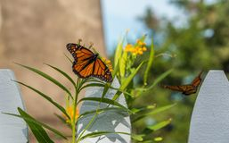 monarch imagem de stock royalty free