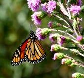 monarch Imagens de Stock Royalty Free