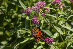monarch stock foto