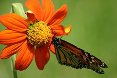 Monarch Royalty Free Stock Photos
