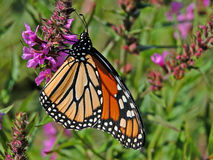 Monarch. Photograph of a Monarch Butterfly feeding on the nectar of a Purple Loosestrife stock image