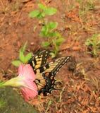 Monarch allen in 2 stock foto