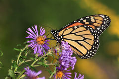 Monarch On Alpine Aster Stock Photo